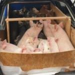 Porcii cu pestă porcină africană de la ferma din Macea, incinerați