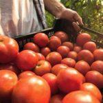 """Producţia din programul """"Tomata"""" se va ridica la aproximativ 1.000 de tone în acest sezon, în județul Arad"""