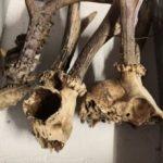 Percheziții la Buteni. Trofee de vânătoare și animale împăiate, confiscate