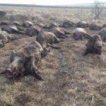 Peste 100 de cadavre de mistreţi ucişi de pestă africană, găsite în păduri din județul Arad