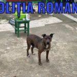 Câini din rasa Amstaff, plasați în adăpost de polițiștii de la Poliția Animalelor