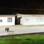 Un urs a distrus o stupină din Stațiunea Moneasa