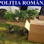 Un bărbat care transporta plante de canabis s-a răsturnat cu mașina într-un șanț