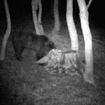 Un urs a apărut în zona Hăşmaş şi a atacat animale ale localnicilor